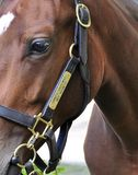 Fast Tipton Yearling Sales royalty free stock photos