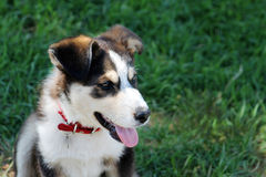 Gorgeous beady eye Australian Shepherd puppy. Royalty Free Stock Images