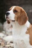 Gorgeous beagle looking Royalty Free Stock Photos