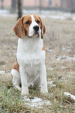 Gorgeous beagle looking Stock Photography