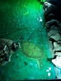 turtle at the bottom of lani kai fountain. stock images