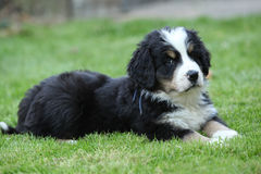 Gorgeous Bernese Mountain Dog puppy lying Royalty Free Stock Image