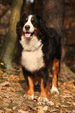 Gorgeous bernese mountain dog standing in autumn forest Royalty Free Stock Photography