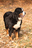 Gorgeous bernese mountain dog standing in autumn forest Royalty Free Stock Photos