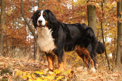 Gorgeous bernese mountain dog standing in autumn forest Stock Photography