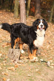 Gorgeous bernese mountain dog standing in autumn forest Stock Photos