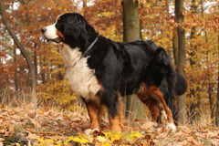 Gorgeous bernese mountain dog standing in autumn forest Stock Image