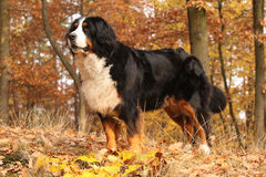 Gorgeous bernese mountain dog standing in autumn forest Royalty Free Stock Photo