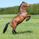 Gorgeous big brown horse prancing Stock Image