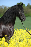Gorgeous black friesian horse in colza field Stock Photos