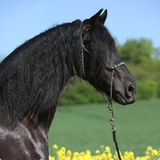 Gorgeous black friesian horse in colza field Stock Image