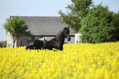 Gorgeous black friesian horse in colza field Stock Images