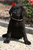 Gorgeous labrador retriever puppy sitting Royalty Free Stock Image