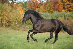 Gorgeous black stallion running in autumn Royalty Free Stock Image