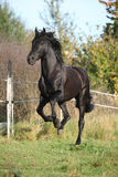 Gorgeous black stallion running in autumn Stock Images