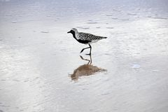 Gorgeous Black-and-White Bird Runs Through the Ocean Water stock photography