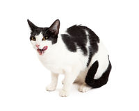 Gorgeous Black and White Cat Licking Lips Royalty Free Stock Image