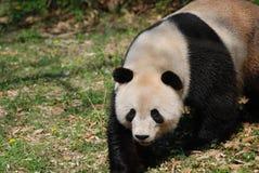 Gorgeous Black and White Giant Panda Bear Walking Stock Image