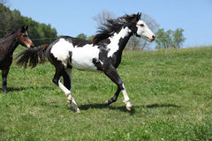 Gorgeous black and white stallion of paint horse running. On spring pasturage royalty free stock photo