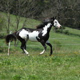 Gorgeous black and white stallion of paint horse running Royalty Free Stock Photos