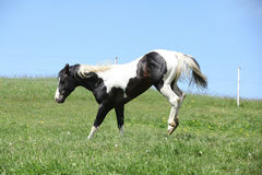 Gorgeous black and white stallion of paint horse running Stock Photos