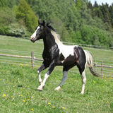 Gorgeous black and white stallion of paint horse running Stock Images