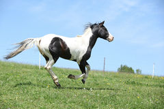 Gorgeous black and white stallion of paint horse running Royalty Free Stock Images