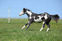 Gorgeous black and white stallion of paint horse running. On spring pasturage royalty free stock image