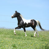 Gorgeous black and white stallion of paint horse running Stock Photo