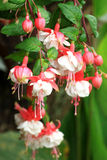 Gorgeous blooming fuchsia in nature Royalty Free Stock Photos
