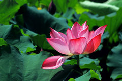 Gorgeous blooming lotus in the summer. Flower garden, the summer season, surrounded by green lotus leaf, lotus in full bloom, looks like the lush, bright is Royalty Free Stock Photography