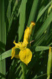 Gorgeous Blooming Yellow Iris Flower Blossom in a Garden Stock Image