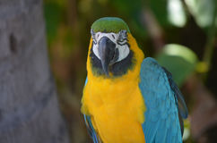 Gorgeous Blue and Gold Macaw Bird Royalty Free Stock Photos