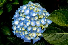 Gorgeous Blue Hydrangeas in Dark Background royalty free stock photo