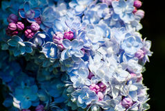 Gorgeous blue and purple lilac. On black background Royalty Free Stock Image
