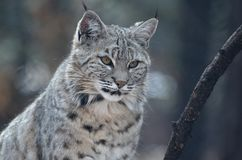 Gorgeous Bobcat's Face Up Close. Beautiful face of a bobcat in the wild up close and personal Royalty Free Stock Image