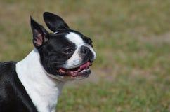 Gorgeous Boston Terrier Dog. Black and white Boston terrier dog Royalty Free Stock Photos