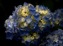 Gorgeous bright blue or periwinkle colored hydrangea with a black background in the spring or summer royalty free stock photos