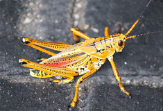 Gorgeous bright orange cricket insect Stock Image