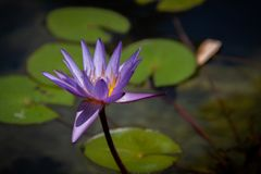 Gorgeous bright purple water lily in a pond stock photography