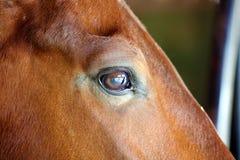 Gorgeous horse eye andalusian spanish stallion, amazing arabian horse. Royalty Free Stock Image
