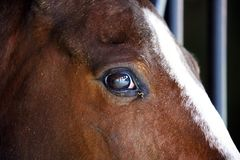 Gorgeous horse eye andalusian spanish stallion, amazing arabian horse. Stock Images