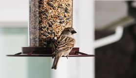 Gorgeous brown colorful bird eating seeds from a bird seed feeder during summer in Michigan. Gorgeous brown sparrow colorful bird eating seeds from a bird seed Royalty Free Stock Photography