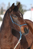 Gorgeous brown horse with rope halter in winter Stock Photography