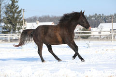 Gorgeous brown horse in winter Royalty Free Stock Photo