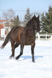 Gorgeous brown horse in winter Royalty Free Stock Photography