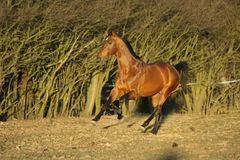 Gorgeous brown warmblood running in the evening Royalty Free Stock Photos