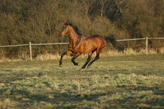 Gorgeous brown warmblood running in the evening Royalty Free Stock Photography
