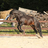 Gorgeous brown welsh cob jumping Stock Photo