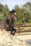 Gorgeous brown welsh cob jumping Royalty Free Stock Photo